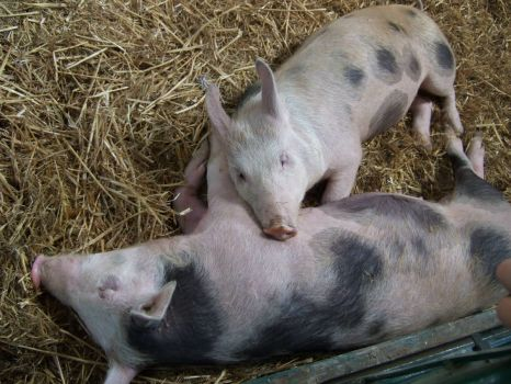 pigs at arlington, sussex