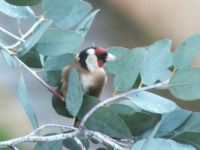 Goldfinch in our Eucalyptus tree