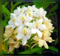 Epidendrum Wedding Valley White 86