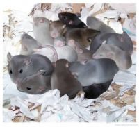 Ratlets in the nest