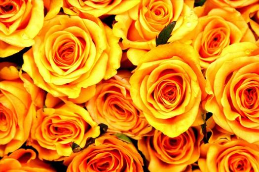 The 'Yellow Rose'..