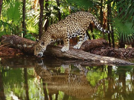 THIRSTY JAGUAR