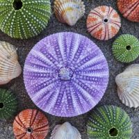 Violet-and-other-colorful-sea-urchins-and-shells-on-wet-sand-beach