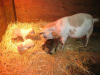 Taffy and her triplets -- theme farm animals