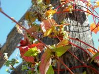 climbing vine in autumn