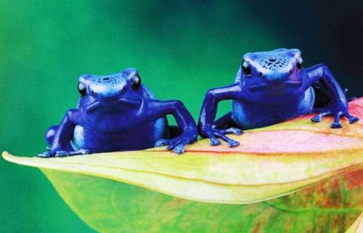 Poisonous Blue Dart Frogs - Sth America.