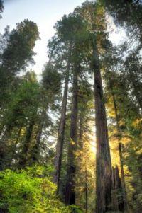 The Nevada Redwoods