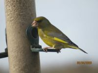 Male Greenfinch is back.