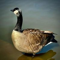 Goose, Central Park, NYC