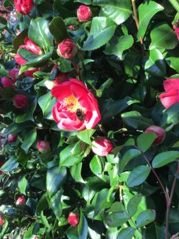 Camellias and bee