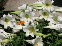 Easter Lilies in my garden