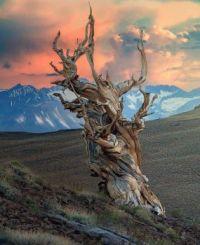 4,000 year-old Bristlecone Pine
