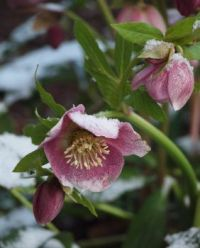 Speckled hellebore in the snow