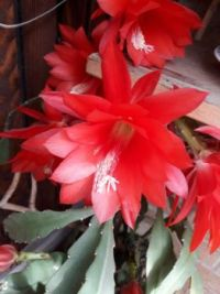 Easter cactus.