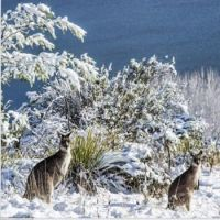 kangaroos in the snow 2