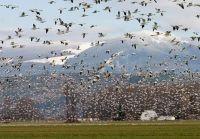 Snow Geese, Skagit Valley, Washington