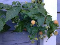Golden Raspberry