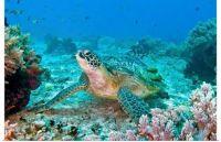 green-turtle-at-balicasag-bohol-philippines-,1112786