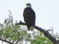 4-20-2015-Reelfoot Lake--bald eagle