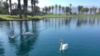 Swans enjoying a warm day in Palm Springs.