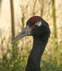 Black-necked Crane - native to Tibet