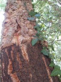 Cork oak bark, Sardinia, Italy