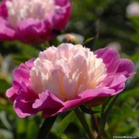 "Show stopping Peony ""Gay Paree"""