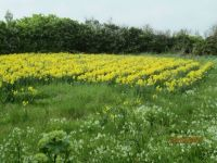 Daffodil Field, Isles of Scilly