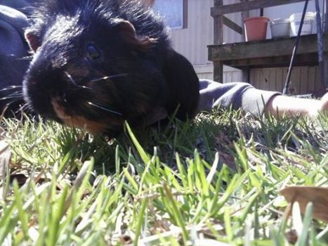 Rolo, the Guinea Pig