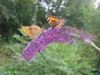 Randezvouse motýlů