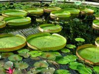 lily pond kew garden