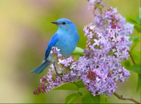 Blue bird on lilac bush!!!