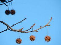 Sweetgum tree seed balls