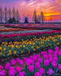 Chiba Japan spring tulip field at sunset