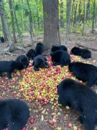 John Fusco bears and apples