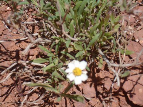 Sedona Flower