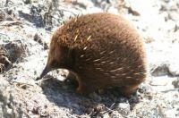 An Echidna: King Island, Tasmania
