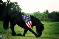 Patriot Stallion!