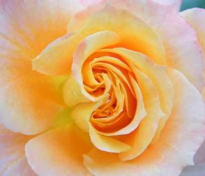 "Floribunda Rose ""Pure Poetry"""