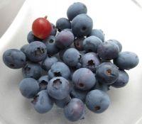 First BlueBerry harvest 2021