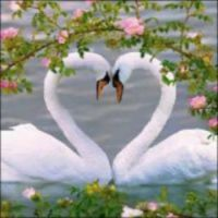 86 Swans