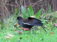 moorhen having a stretch
