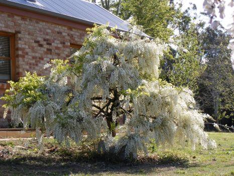 White Wisteria in a friends garden.