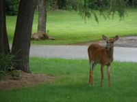 Doe in our front yard