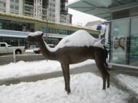 Snow on Camel