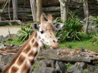 Giraffe, Auckland Zoo