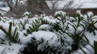 Snow on -- fir? Pine?