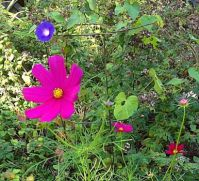 Cosmos, Morning Glory in the Oregano patch.