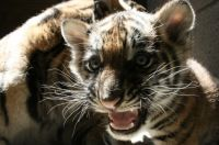 Bahagia's baby tiger in SF Zoo