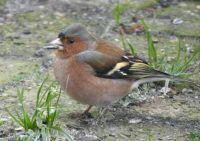 Finch (nl: Vink)